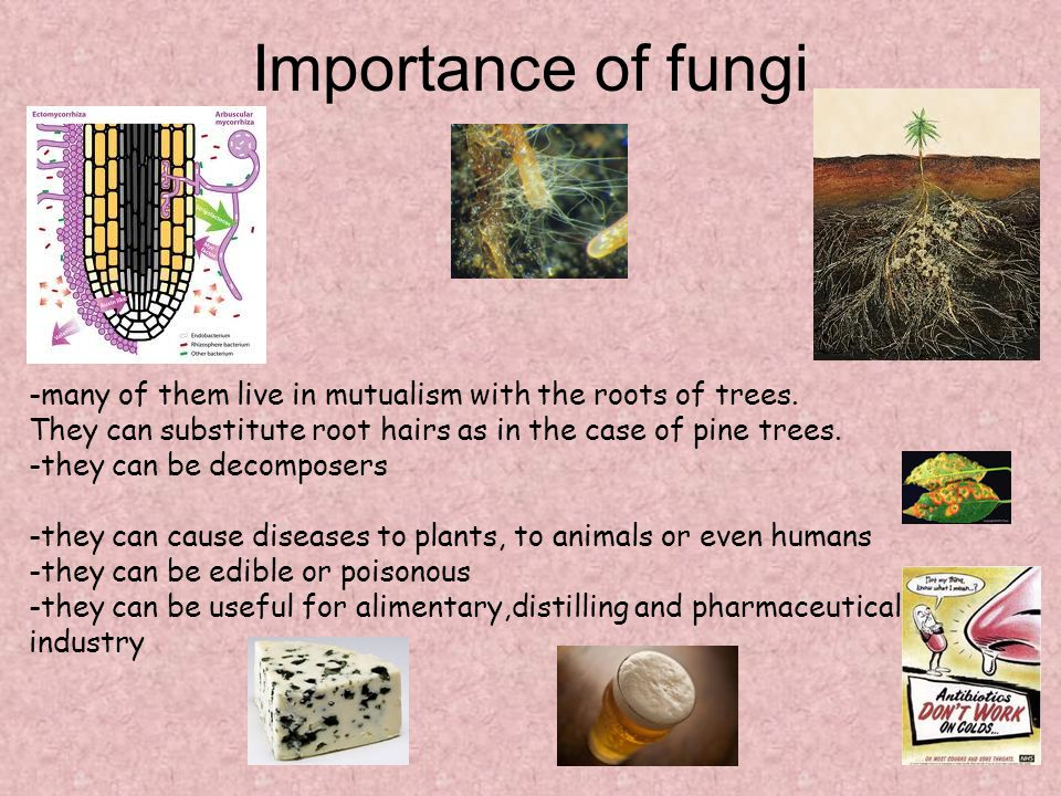 Importance of fungi -many of them live in mutualism with the roots of trees. They can substitute root hairs as in the case of pine trees.