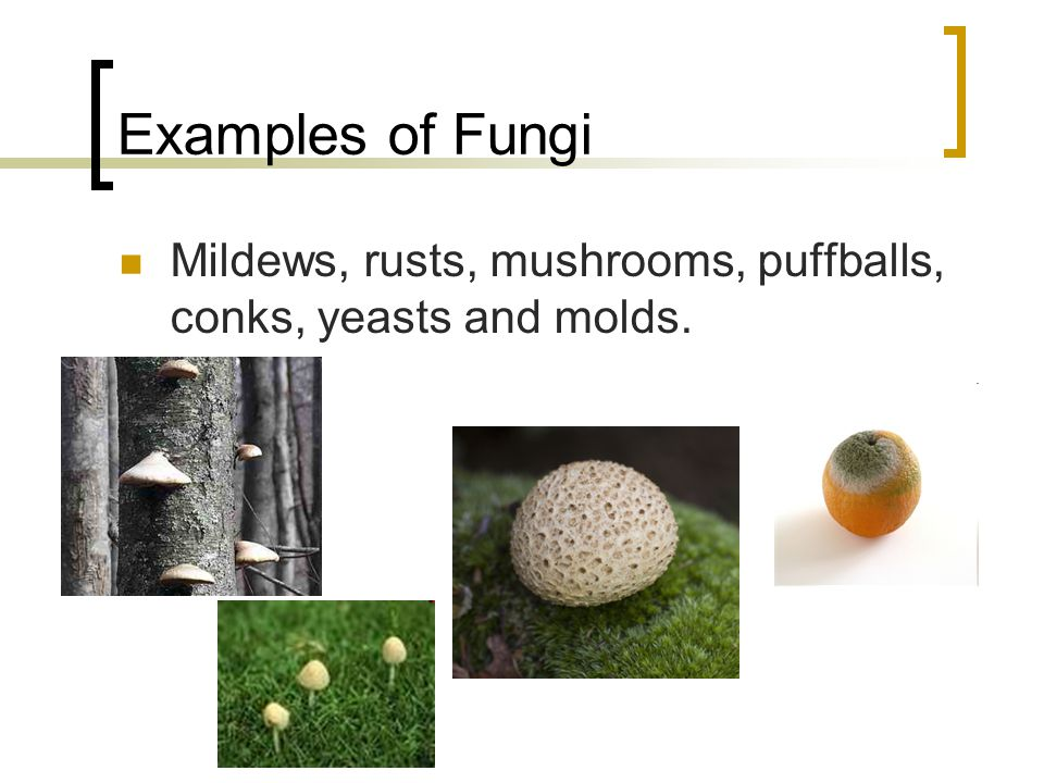 Examples of Fungi Mildews, rusts, mushrooms, puffballs, conks, yeasts and molds.