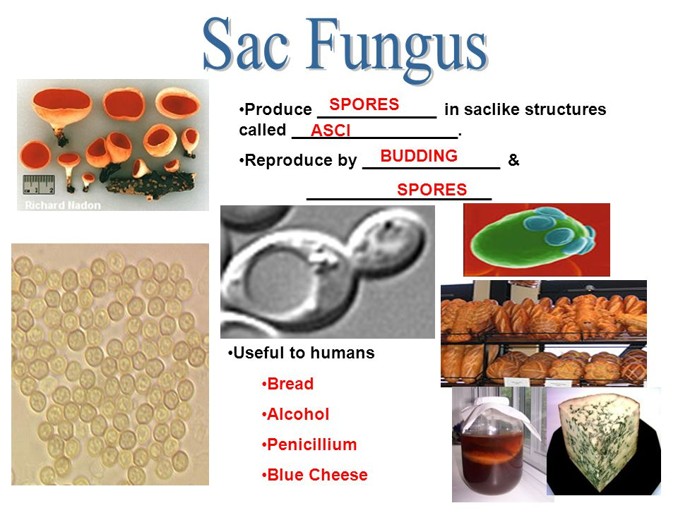 Sac Fungus SPORES. Produce _____________ in saclike structures called __________________. Reproduce by _______________ &