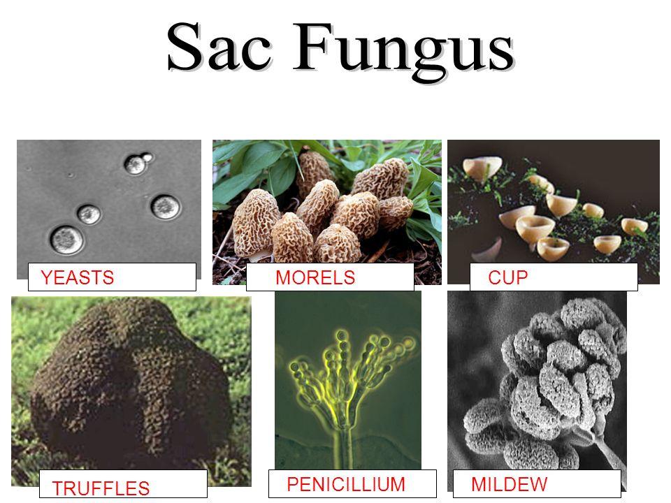 Sac Fungus YEASTS MORELS CUP PENICILLIUM MILDEW TRUFFLES