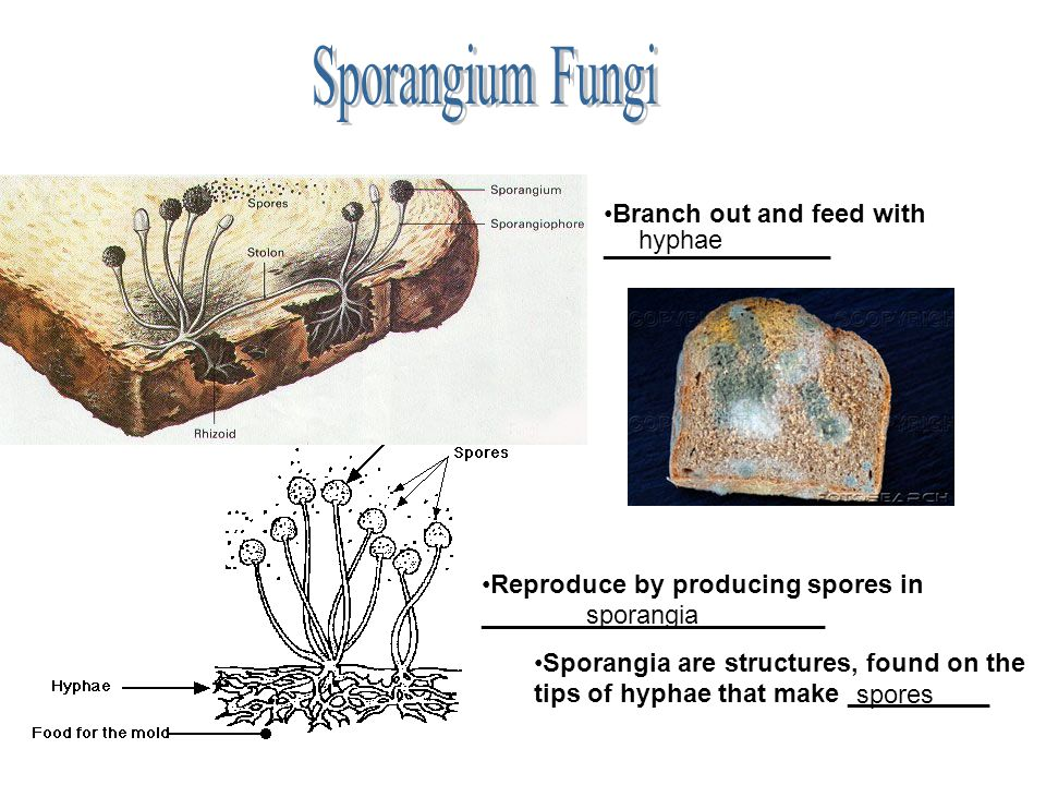 Sporangium Fungi Branch out and feed with ________________ hyphae