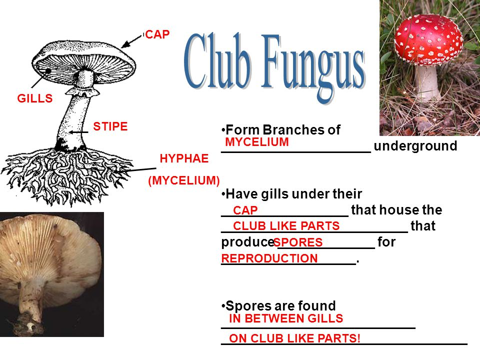 Club Fungus Form Branches of ____________________ underground