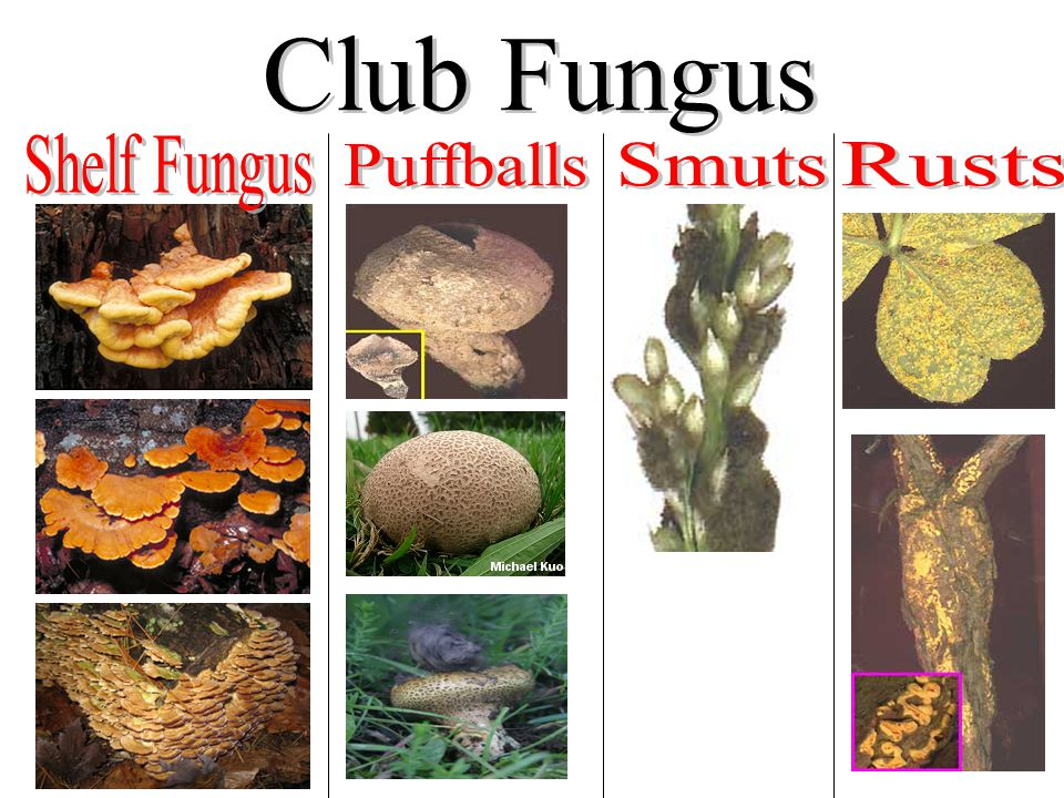 Club Fungus Shelf Fungus Puffballs Smuts Rusts
