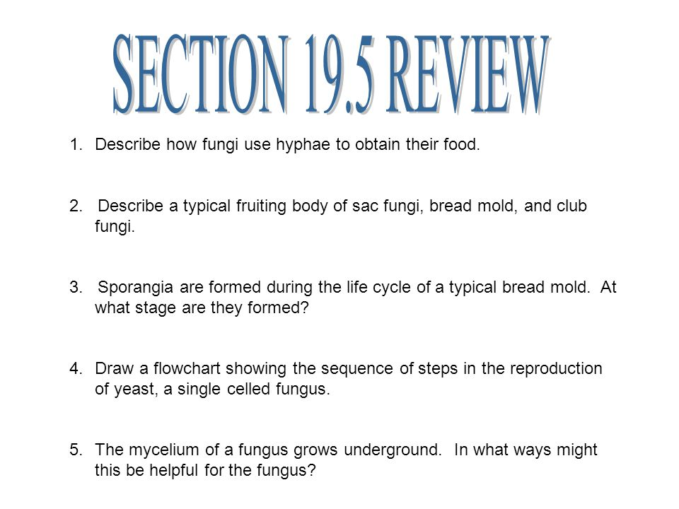 SECTION 19.5 REVIEW Describe how fungi use hyphae to obtain their food.