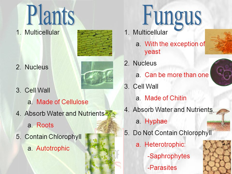 Plants Fungus Multicellular Nucleus Cell Wall a. Made of Cellulose