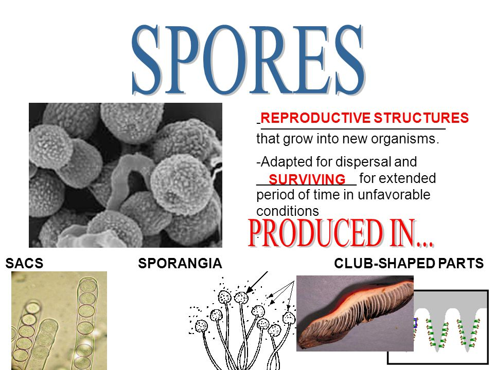 SPORES PRODUCED IN... REPRODUCTIVE STRUCTURES