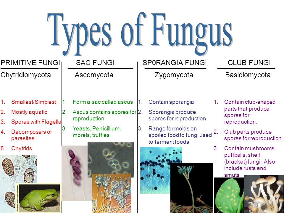 Types of Fungus PRIMITIVE FUNGI SAC FUNGI SP0RANGIA FUNGI CLUB FUNGI