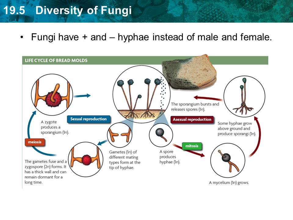 Fungi have + and – hyphae instead of male and female.
