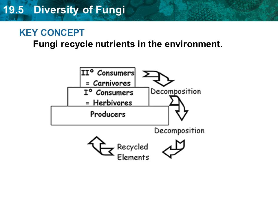 KEY CONCEPT Fungi recycle nutrients in the environment.