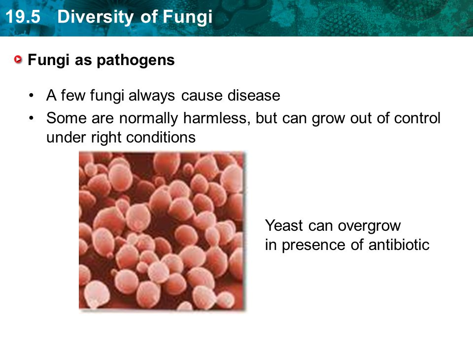 Fungi as pathogens A few fungi always cause disease. Some are normally harmless, but can grow out of control under right conditions.