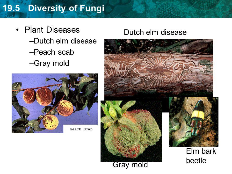 Plant Diseases Dutch elm disease Dutch elm disease Peach scab