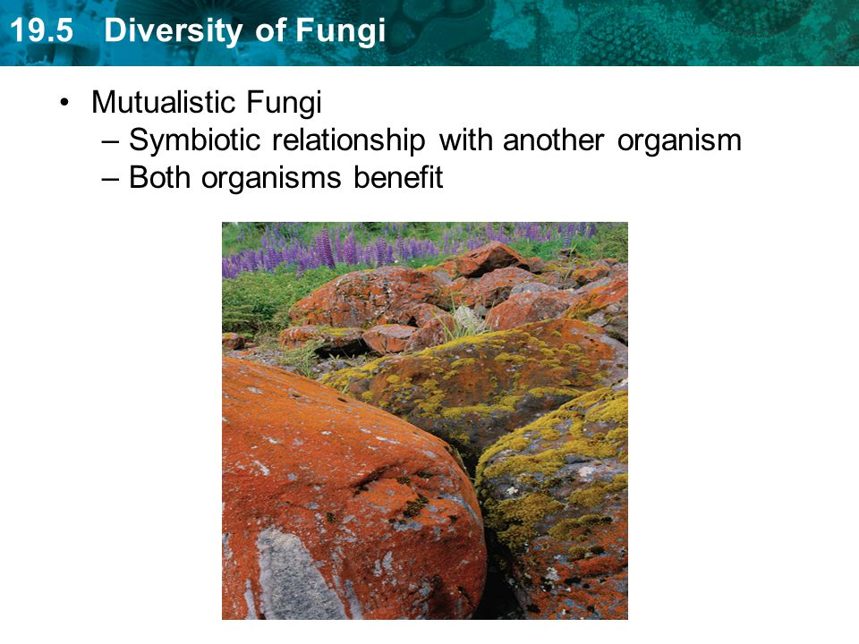 Mutualistic Fungi Symbiotic relationship with another organism Both organisms benefit