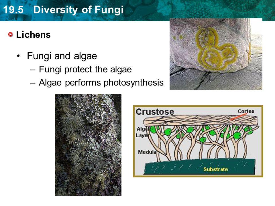 Fungi and algae Lichens Fungi protect the algae