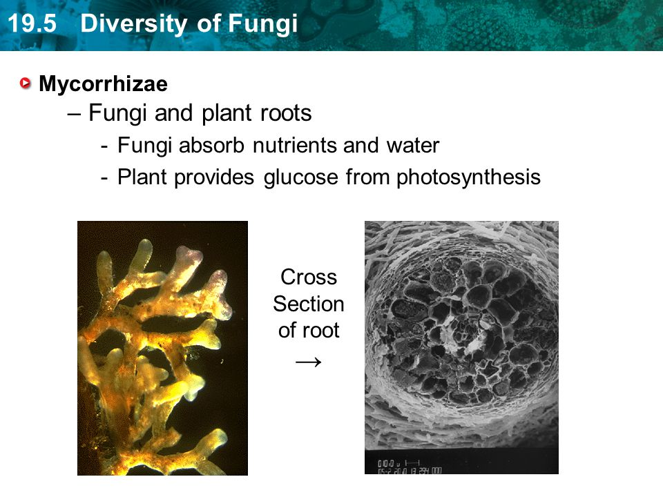 → Fungi and plant roots Mycorrhizae Fungi absorb nutrients and water
