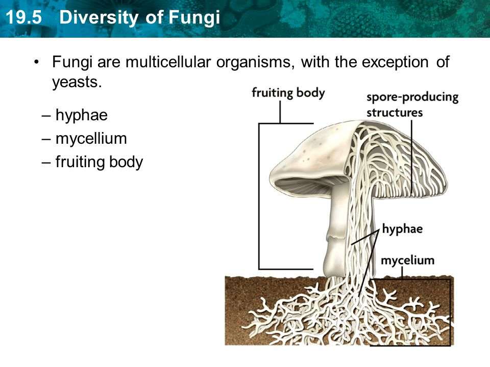 Fungi are multicellular organisms, with the exception of yeasts.