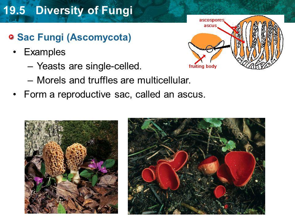 Sac Fungi (Ascomycota)