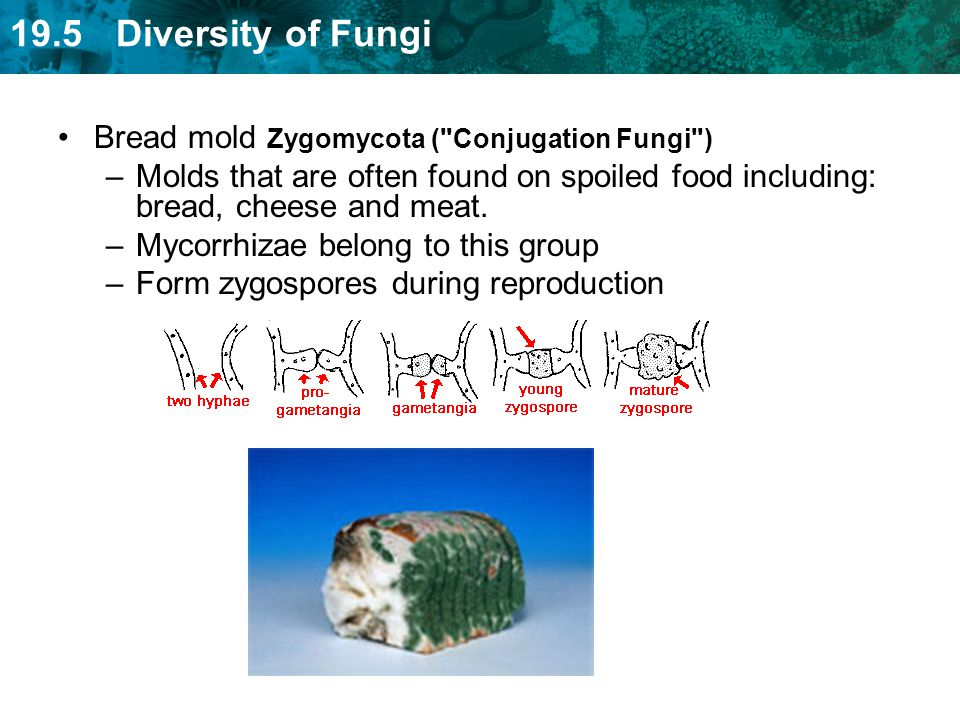 Bread mold Zygomycota ( Conjugation Fungi )