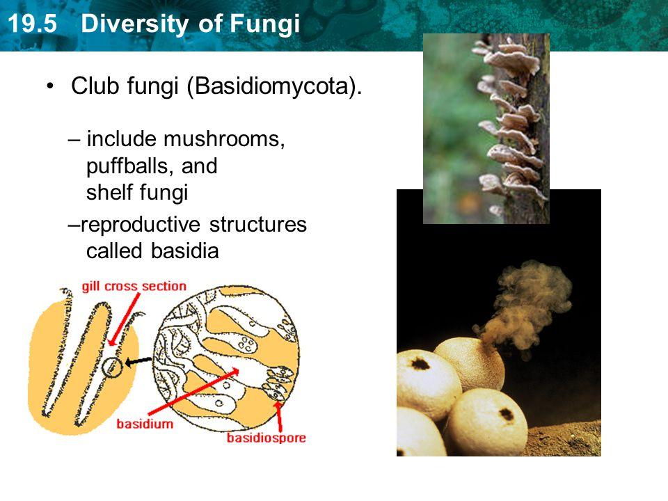 Club fungi (Basidiomycota).