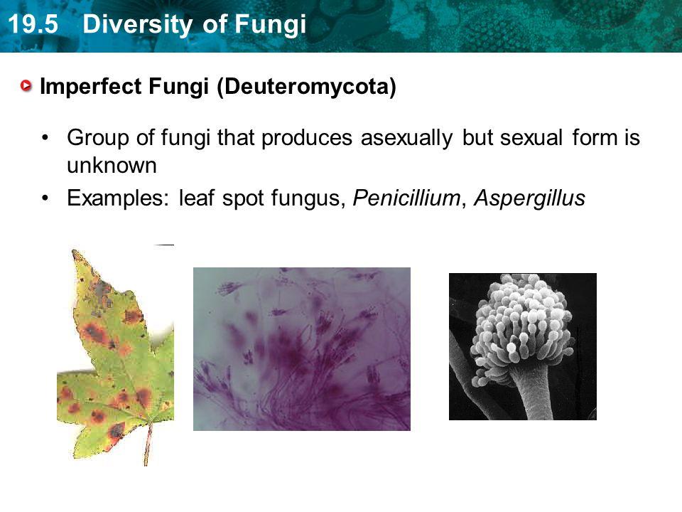 Imperfect Fungi (Deuteromycota)