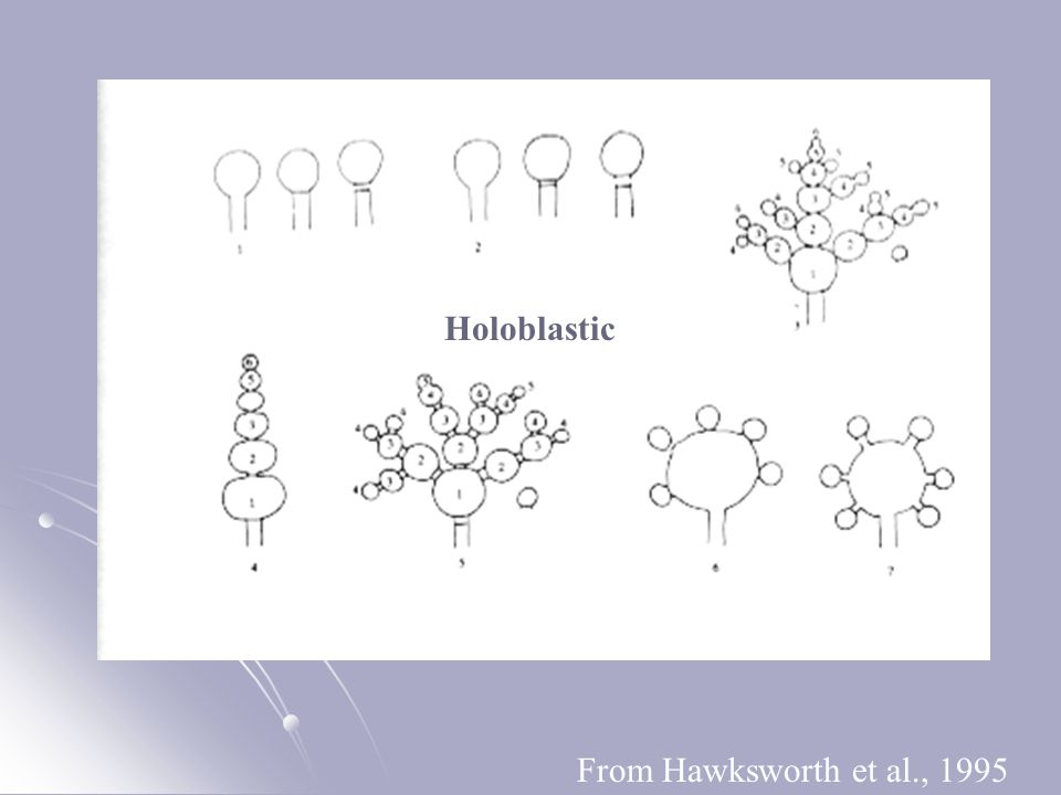 Holoblastic From Hawksworth et al., 1995