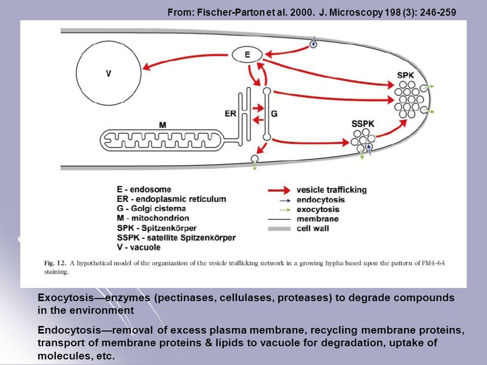 From: Fischer-Parton et al. 2000. J. Microscopy 198 (3): 246-259