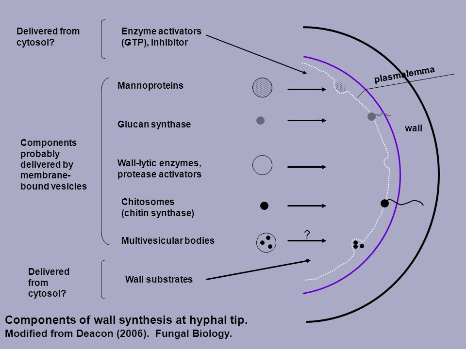 Mannoproteins. Glucan synthase. Wall-lytic enzymes, protease activators. Chitosomes (chitin synthase)
