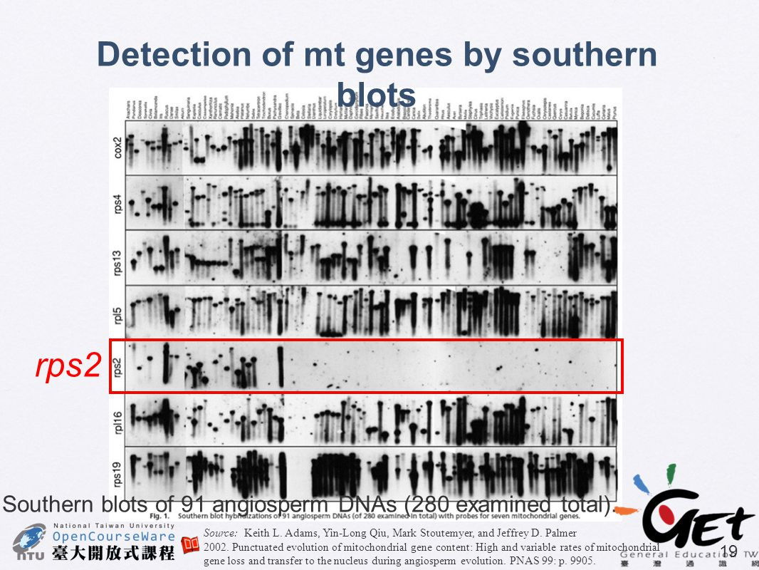 Detection of mt genes by southern blots