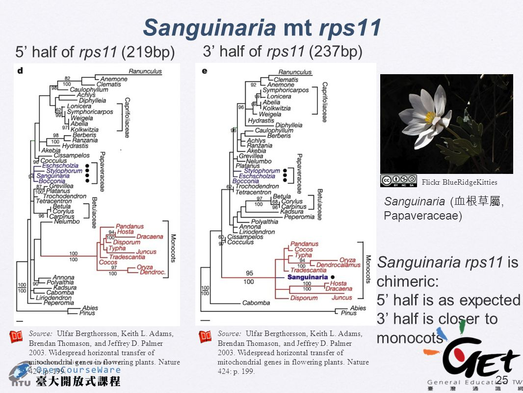 Sanguinaria mt rps11 5' half of rps11 (219bp) 3' half of rps11 (237bp)
