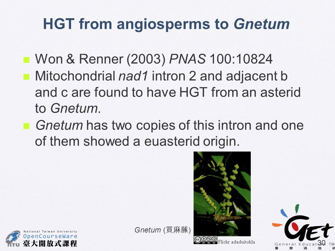 HGT from angiosperms to Gnetum