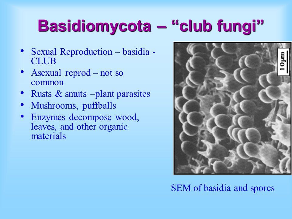 Basidiomycota – club fungi