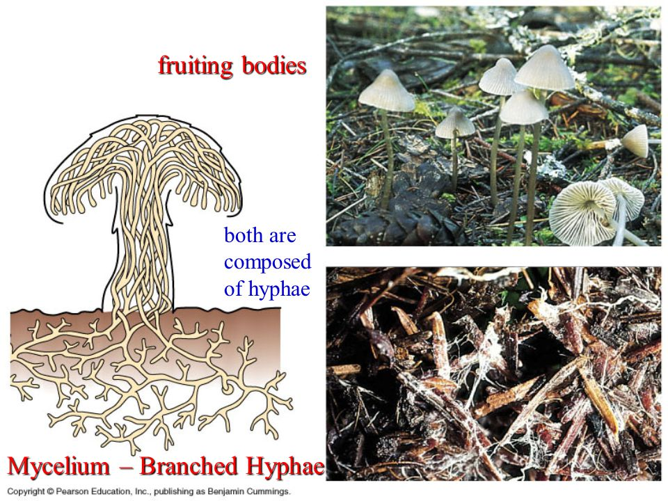 Mycelium – Branched Hyphae