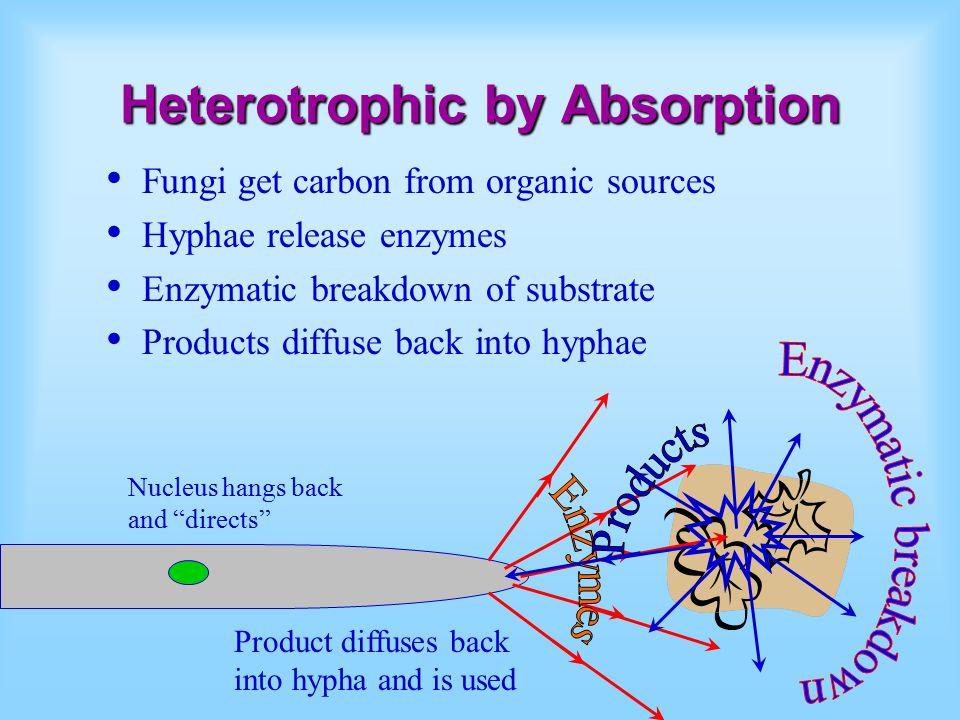 Heterotrophic by Absorption