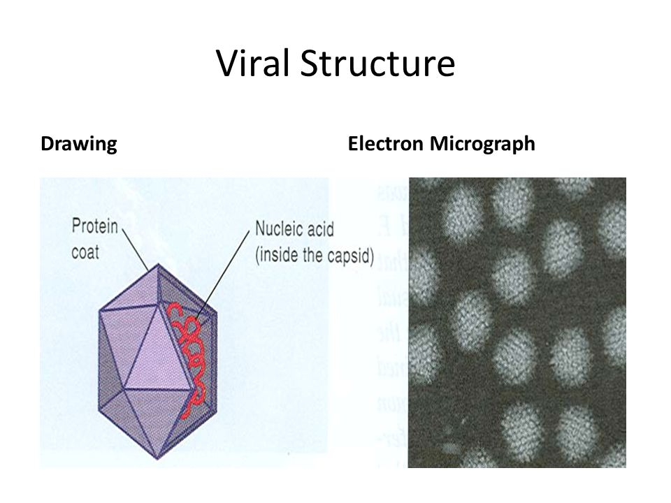 Viral Structure Drawing Electron Micrograph