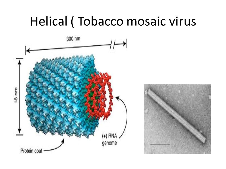 Helical ( Tobacco mosaic virus