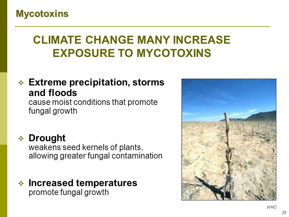 CLIMATE CHANGE MANY INCREASE EXPOSURE TO MYCOTOXINS