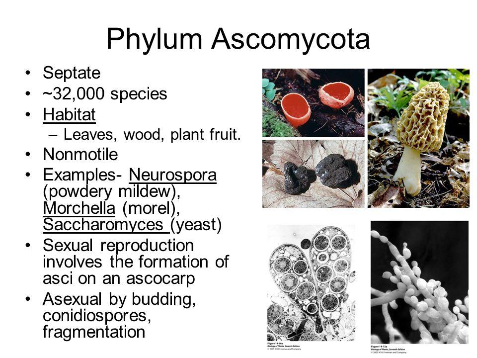 Phylum Ascomycota Septate ~32,000 species Habitat Nonmotile