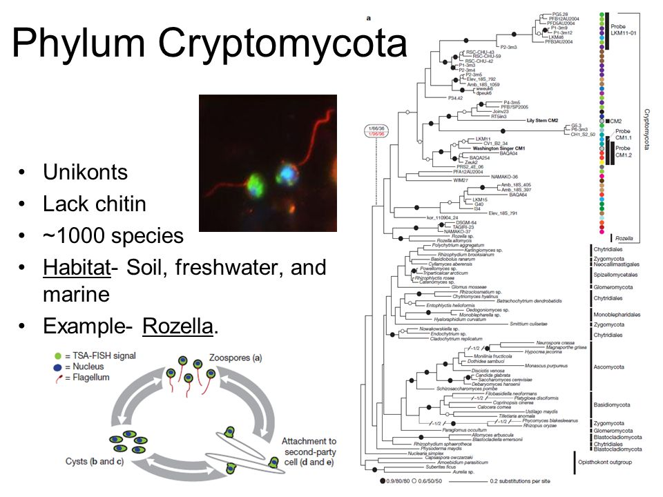 Phylum Cryptomycota Unikonts Lack chitin ~1000 species
