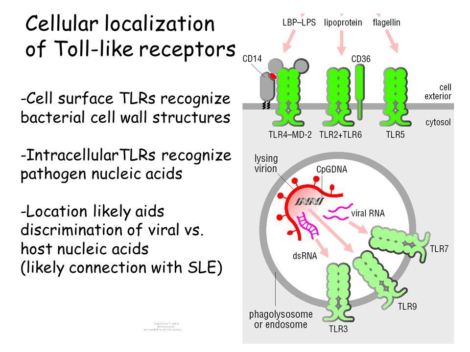 Cellular localization of Toll-like receptors