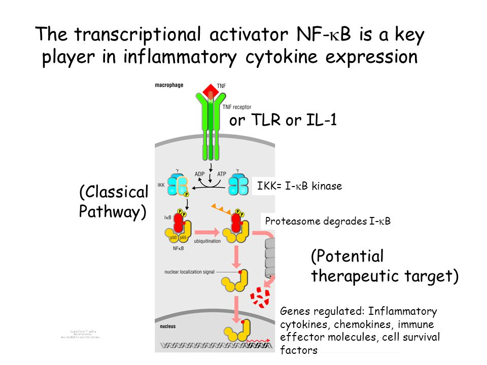 The transcriptional activator NF-kB is a key player in inflammatory cytokine expression