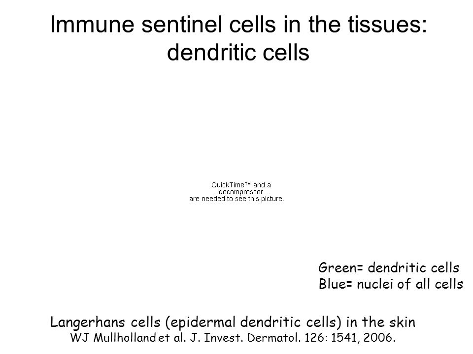 Immune sentinel cells in the tissues: dendritic cells