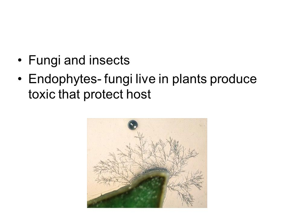 Fungi and insects Endophytes- fungi live in plants produce toxic that protect host