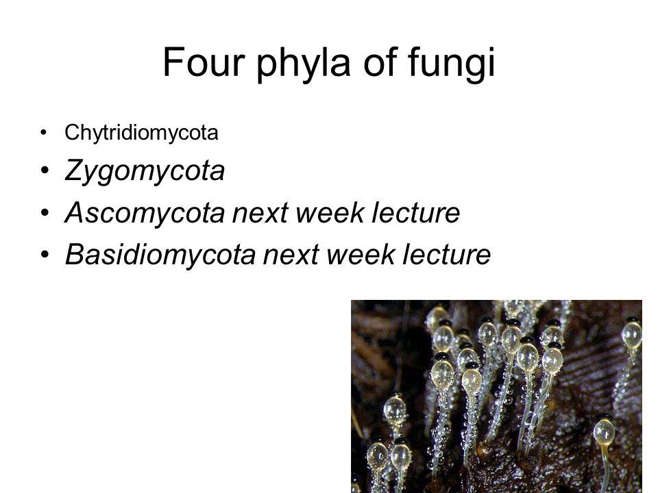 Four phyla of fungi Zygomycota Ascomycota next week lecture