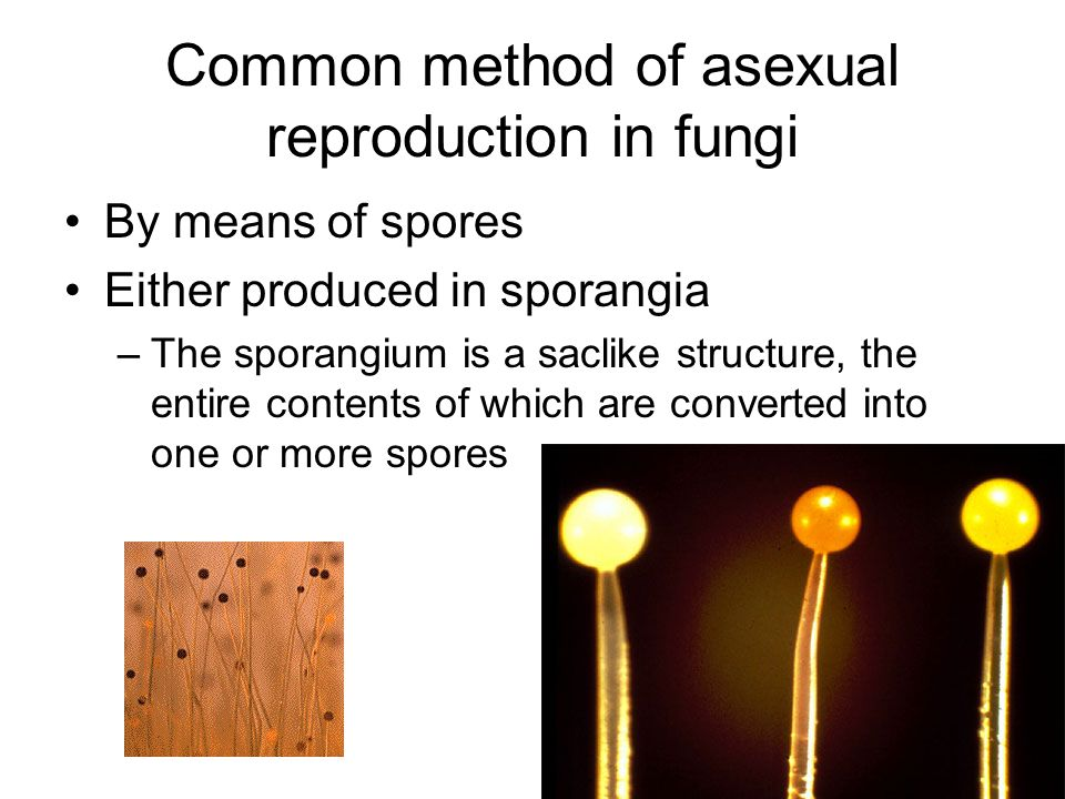 Common method of asexual reproduction in fungi