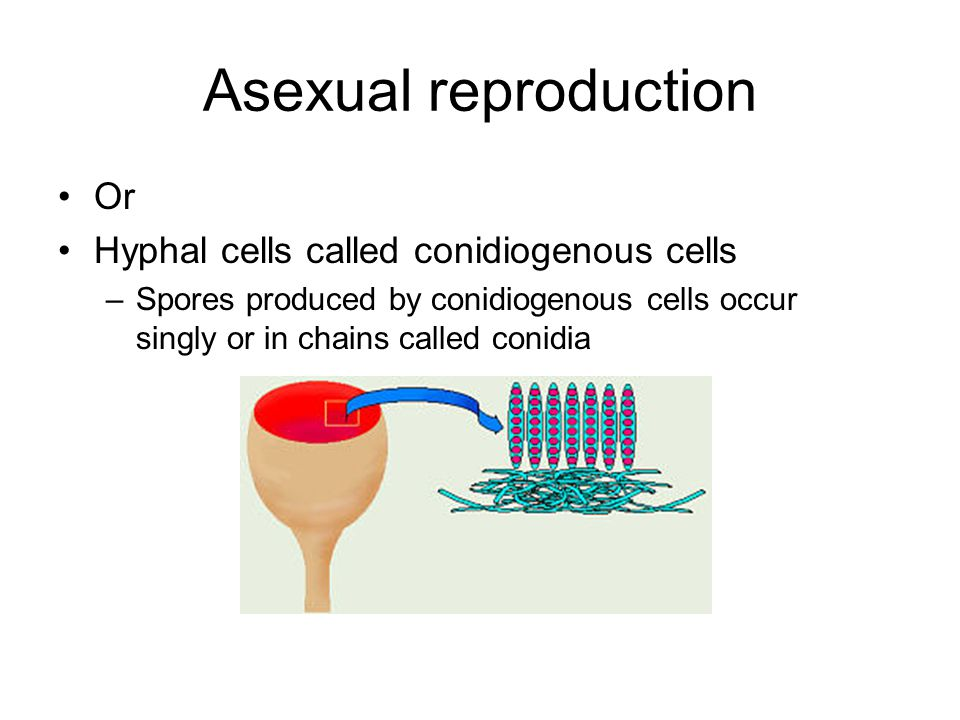 Asexual reproduction Or Hyphal cells called conidiogenous cells
