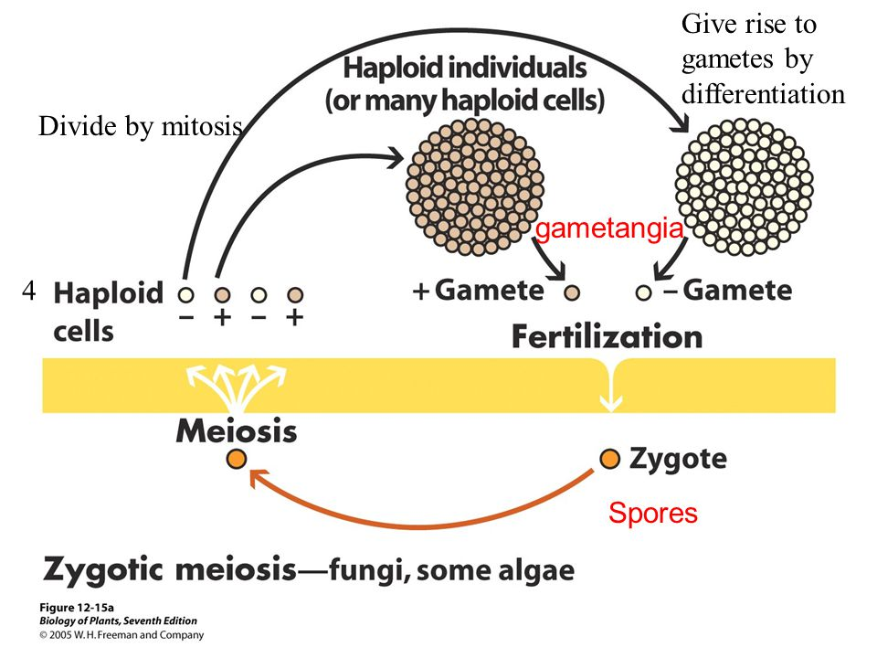 Give rise to gametes by differentiation Divide by mitosis gametangia 4 Spores