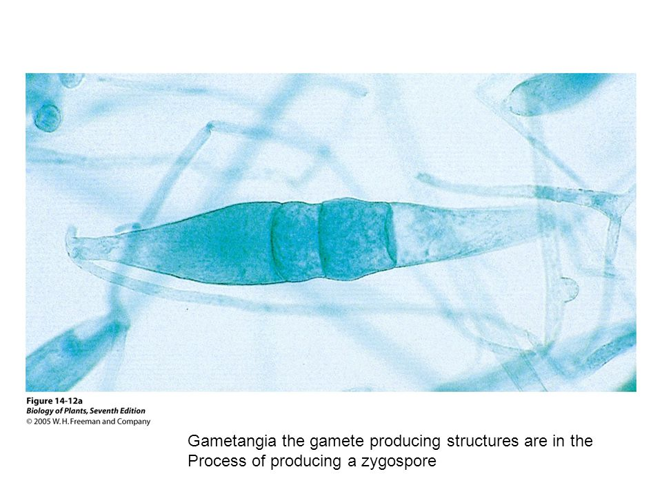 Gametangia the gamete producing structures are in the