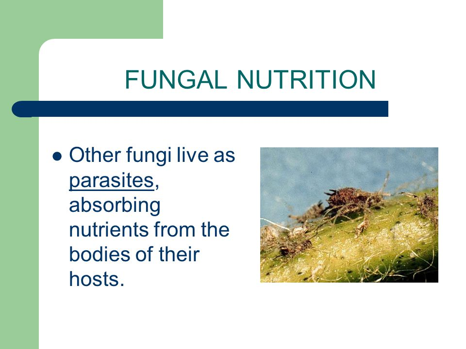 FUNGAL NUTRITION Other fungi live as parasites, absorbing nutrients from the bodies of their hosts.