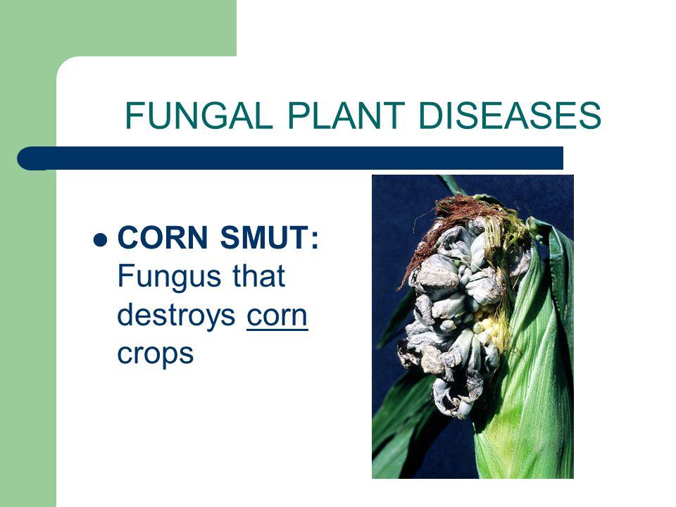 FUNGAL PLANT DISEASES CORN SMUT: Fungus that destroys corn crops