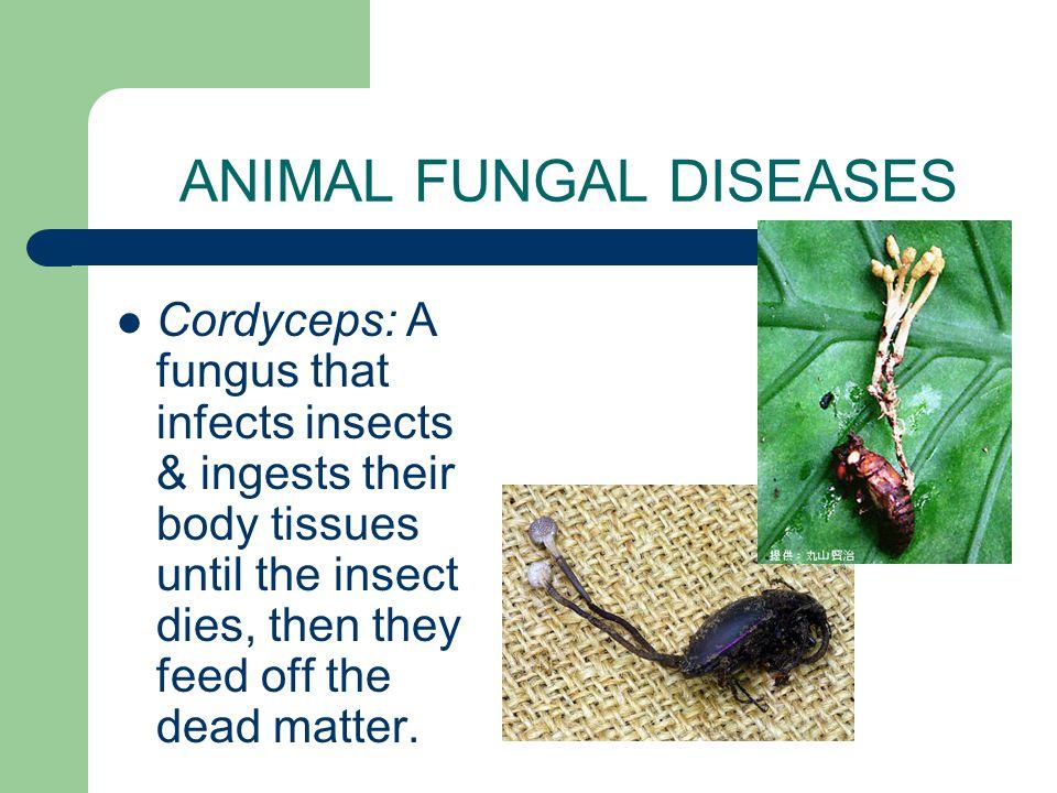 ANIMAL FUNGAL DISEASES