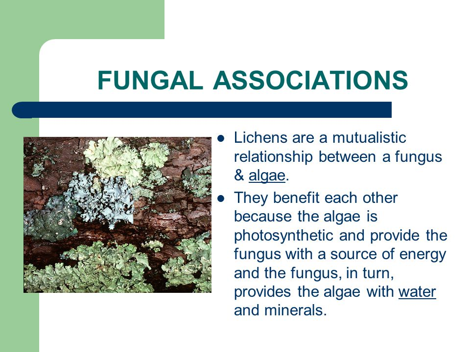 FUNGAL ASSOCIATIONS Lichens are a mutualistic relationship between a fungus & algae.